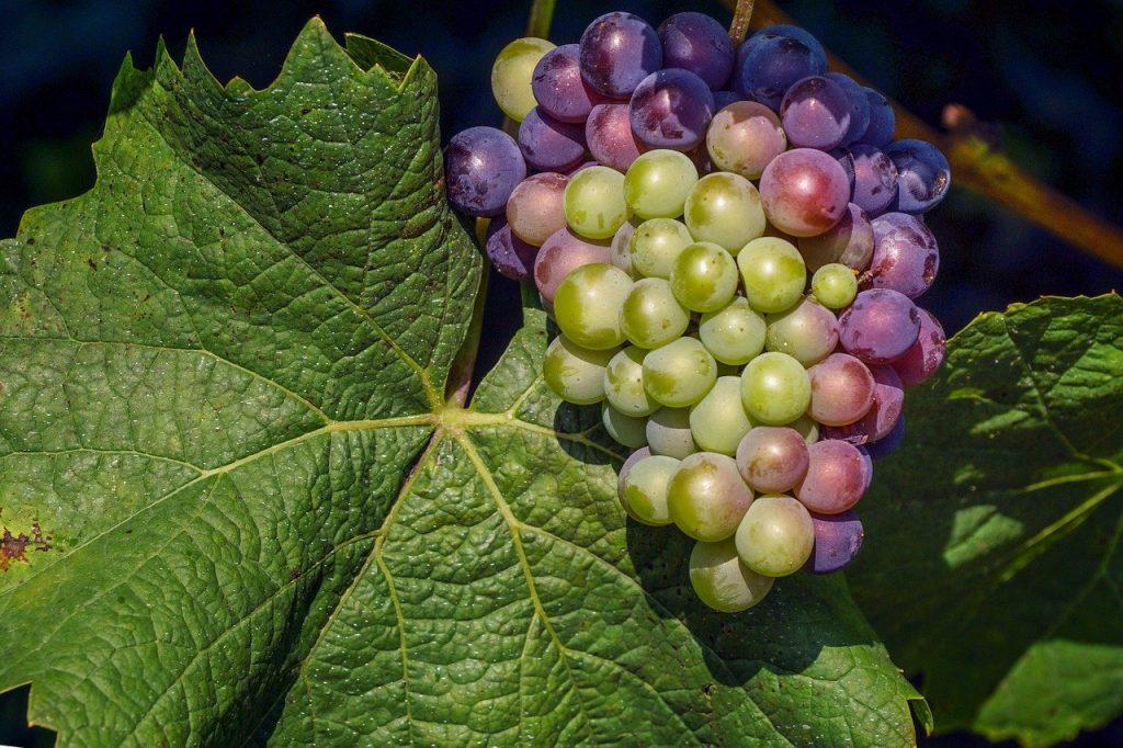 tipi di vitigno