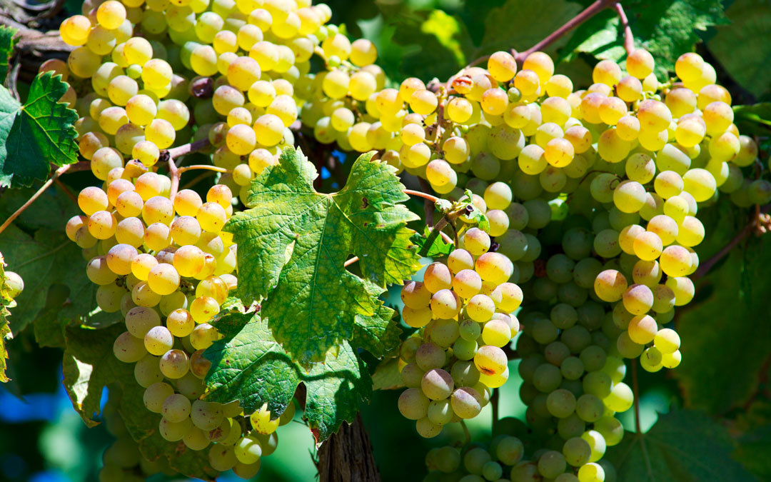 vermentino vitigno